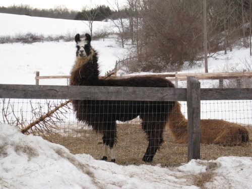 Llama on the farm.